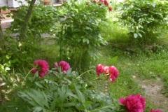 Peonie-Rosse-del-giardino